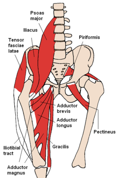 240px-Anterior_Hip_Muscles_2